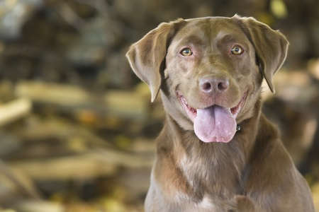 decoy: A Chocolate Labrador Retriever prepares for training with decoys