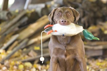 A Chocolate Labrador Retriever prepares for training with decoys