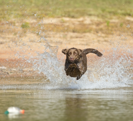 A Chocolate Labrador jumps into a lake as he trains to retrieve decoys photo