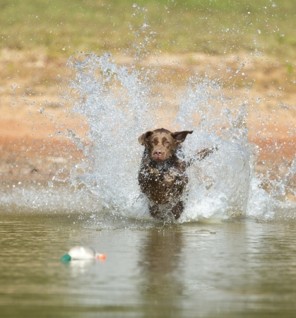 yellow yellow lab: A Chocolate Labrador jumps into a lake as he trains to retrieve decoys Stock Photo