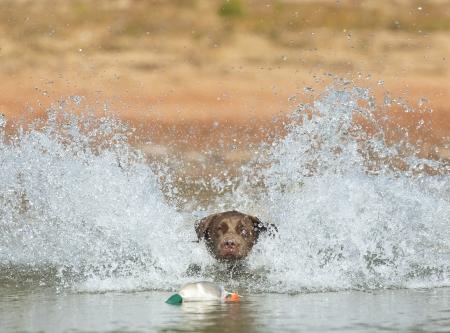 A Chocolate Labrador jumps into a lake as he trains to retrieve decoys Stock Photo - 15946034