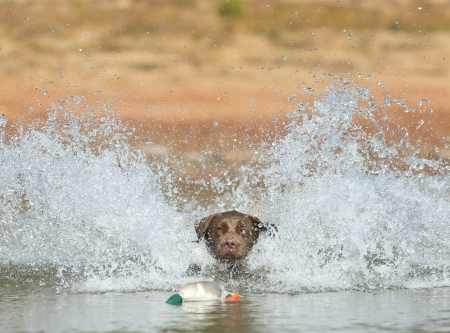 A Chocolate Labrador jumps into a lake as he trains to retrieve decoys Stock Photo