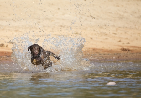 A Chocolate Labrador jumps into a lake as he trains to retrieve decoys Archivio Fotografico