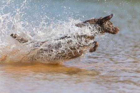 A Chocolate Labrador jumps into a lake as he trains to retrieve decoys Archivio Fotografico