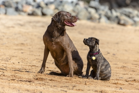 A Chocolate Labrador and a baby Boxer pup train to retrieve decoys photo
