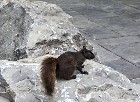 The black squirrel is a melanistic subgroup of the eastern gray squirrel.  photo
