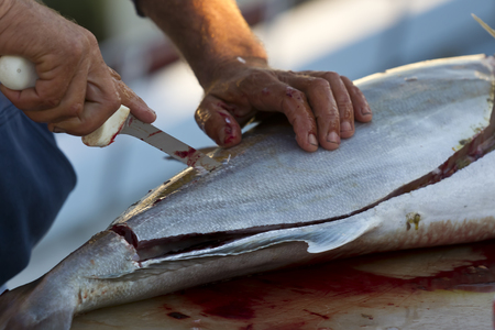 saltwater fish: Fishermen cleaning and filleting a fresh caught saltwater fish.