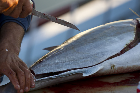 biphenyl: Fishermen cleaning and filleting a fresh caught saltwater fish.