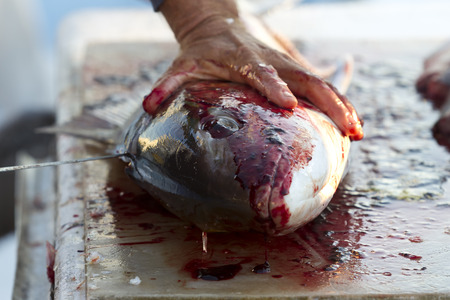 filleting: Fishermen cleaning and filleting a fresh caught saltwater fish.