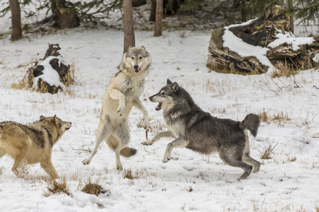 A pack of Tundra Wolves in a snowy Forest hunting for prey.