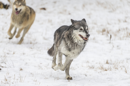 packs: A pack of Tundra Wolves in a snowy Forest hunting for prey.