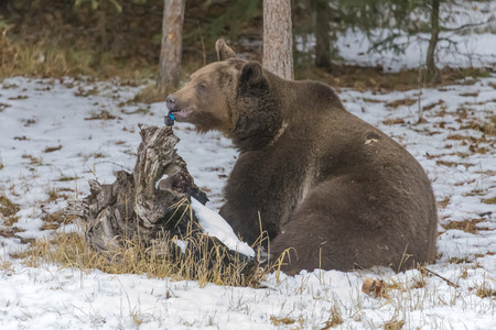 winter weather: A Grizzly Bear enjoys the winter weather in Montana, while destroying a small video device.