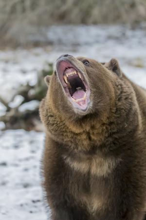 회색 곰은 몬타나의 겨울 날씨를 즐긴다 스톡 콘텐츠