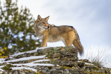 A Coyote searches for a meal in the snowy mountains of Montana. 版權商用圖片 - 49542878