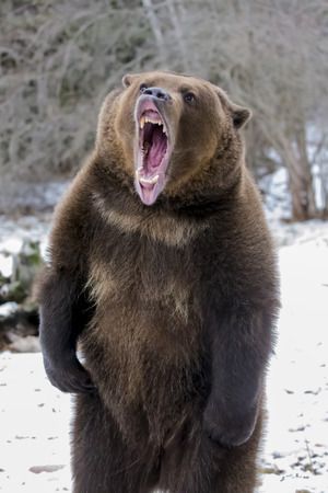 angry animal: A Grizzly Bear enjoys the winter weather in Montana