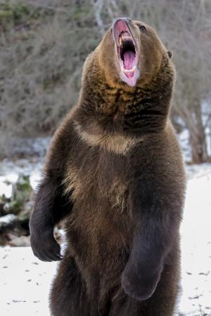 Un grizzli bénéficie l'hiver dans le Montana