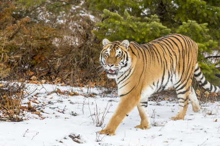snarling: A Bengal Tiger in a snowy Forest hunting for prey. Stock Photo