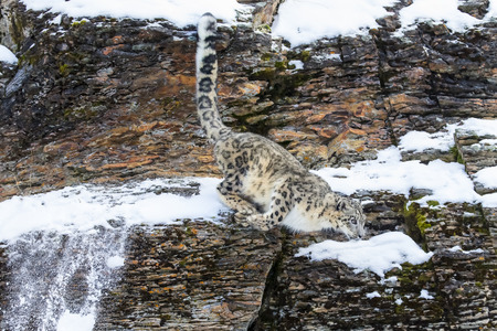 snow leopard: Snow Leopard in a snowy forest hunting for prey.