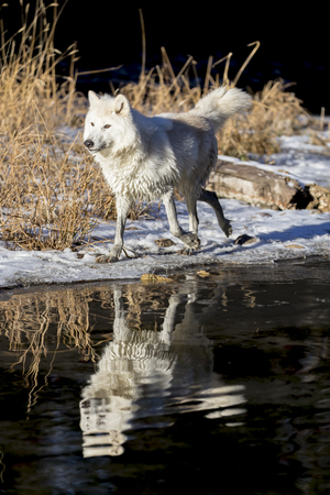 gray wolf black and white: Two Arctic Wolves play around near an icy pond in a snowy forest hunting for prey.