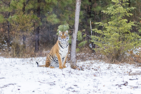 tiger hunting: A Bengal Tiger in a snowy Forest hunting for prey. Stock Photo