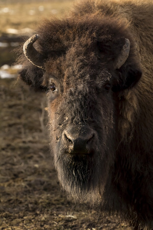 A herd of Buffalo grazing in an open field Stock Photo
