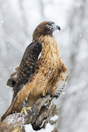 megascops: A Red Tailed Hawk sits in the middle of a snowstorm.