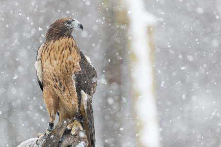 A Red Tailed Hawk sits in the middle of a snowstorm.