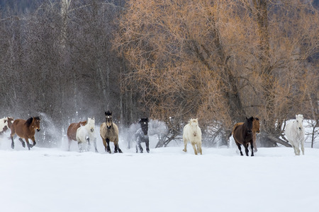 A herd of horses running through the snow in the mountains Stock Photo