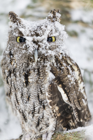 megascops: A Western Screech Owl sits on a tree branch in the middle of a snowstorm.