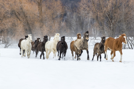 A herd of horses running through the snow in the mountains Stockfoto