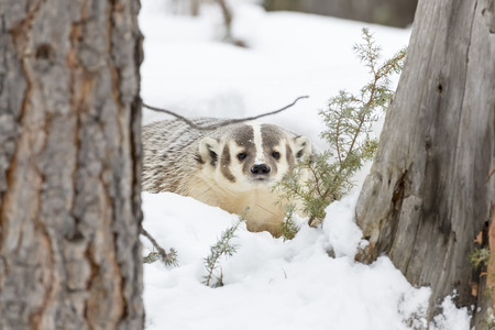 burrows: A badger hunts for prey in a snowy forest habitat.