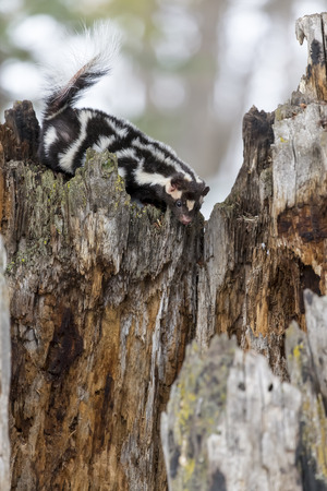 shrubbery: A spotted skunk hunts for prey in a snowy forest habitat.