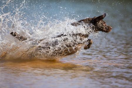A Chocolate Labrador jumps into a lake as he trains to retrieve decoys Stock Photo