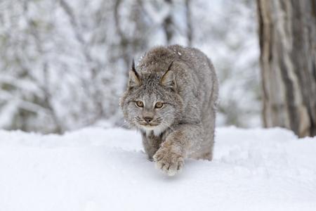 Een bobcat jagt voor prooi in een besneeuwde bos habitat.
