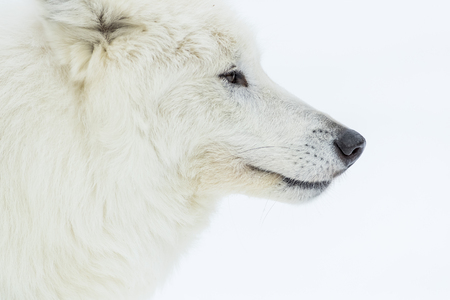 An Arctic Wolf in a snowy forest hunting for prey. Stock Photo