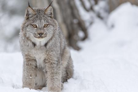 덤 불은 눈 덮인 숲 서식지에서 먹이 사냥을합니다. 스톡 콘텐츠 - 78023210