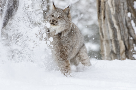 lince: A bobcat hunts for prey in a snowy forest habitat.