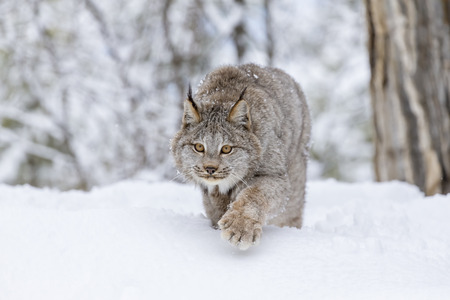 territory: A bobcat hunts for prey in a snowy forest habitat.
