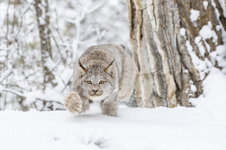Ein Bobcat jagt nach Beute in einem verschneiten Wald Lebensraum.