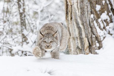 Un bobcat caza para la presa en un hábitat nevoso del bosque. Foto de archivo - 88100833