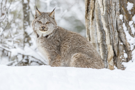 the lynx: A bobcat hunts for prey in a snowy forest habitat.
