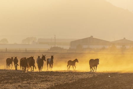 A herd of horses running through a field on a Mexican Ranch at sunrise