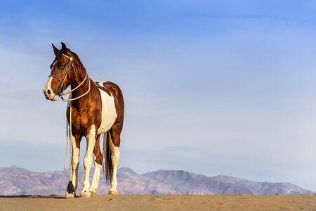 Un cavallo dipinto vaga da solo nel deserto americano