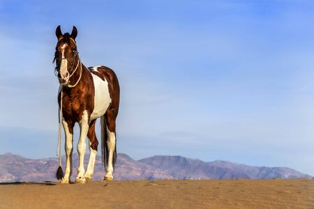 A painted horse roams through the American desert by itself