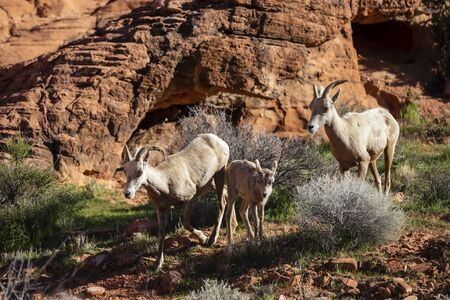 Big horn sheep roam the beautiful rock formations in the Nevada desert against a blue sky