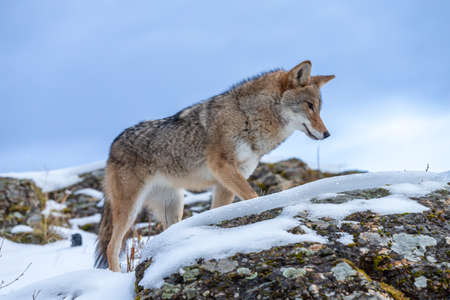 A Coyote searches for a meal in the snowy mountains of Montana. Stock Photo