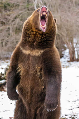A Grizzly Bear enjoys the winter weather in Montana 版權商用圖片