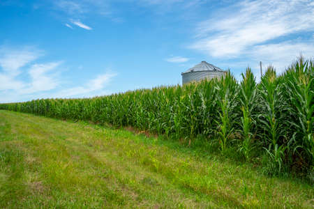 Green field of young corn in the American Midwest