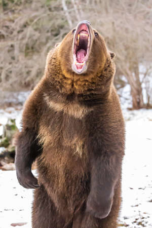 A Grizzly Bear enjoys the winter weather in Montana Standard-Bild