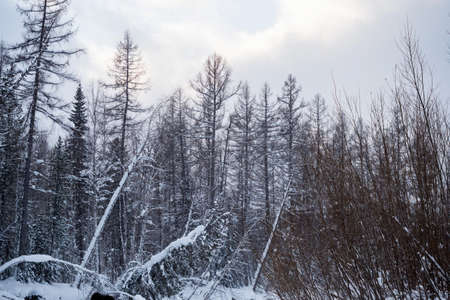 Winter landscape. Pine trees covered with snow. Snowy forest in Siberia. Stock fotó